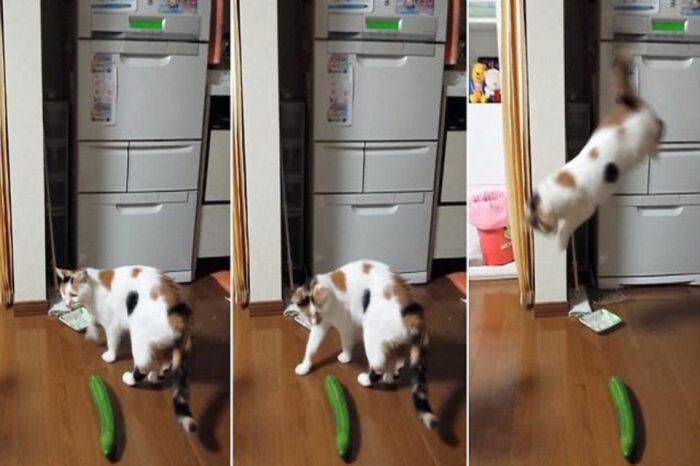 Kenapa Kucing Takut Dengan Timun?